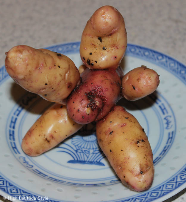 Alaska Russian fingerling potatoes grown together