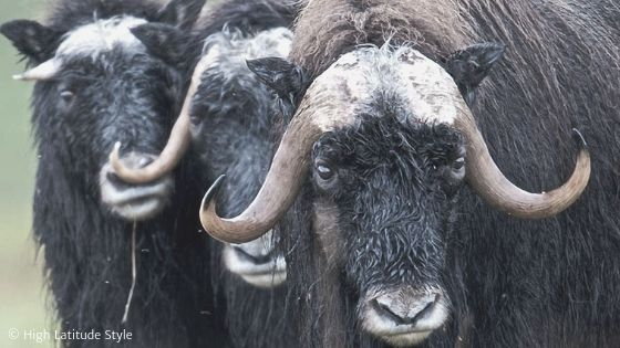 See why simple muskox-wool fashion is so expensive