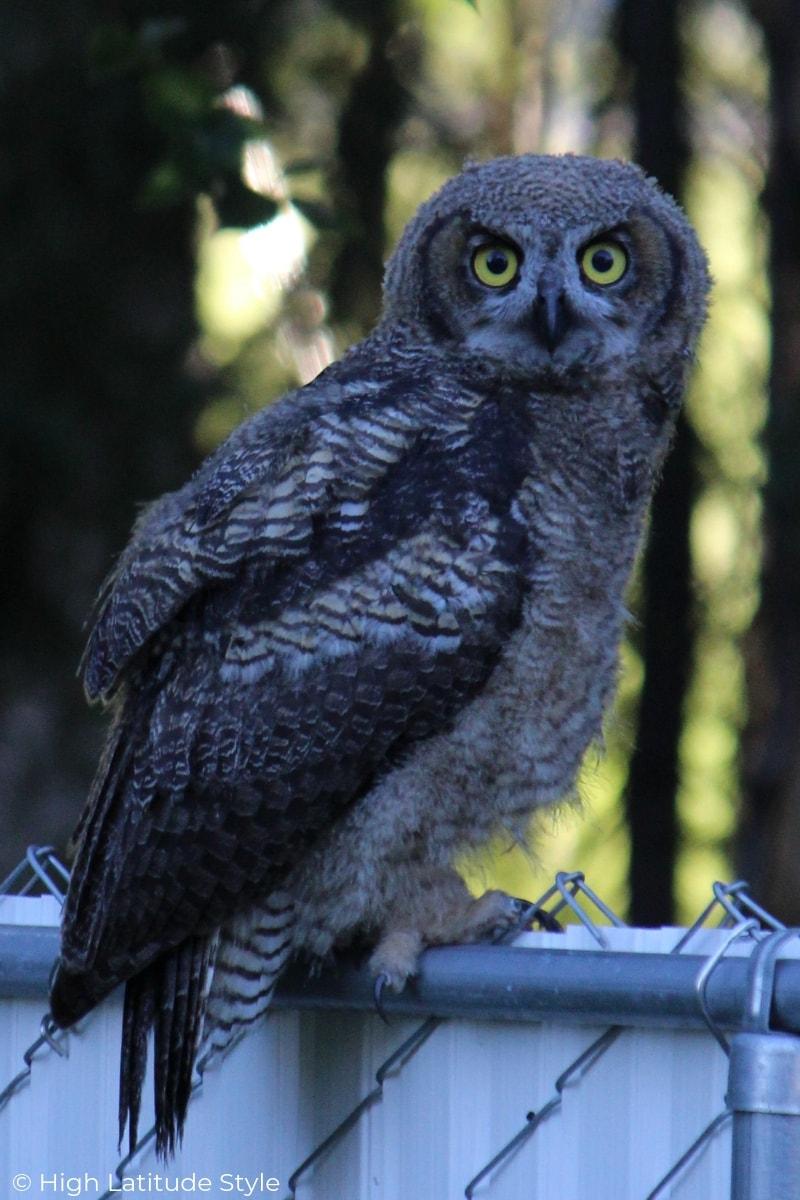 Beautiful owls make a rare photo bomb