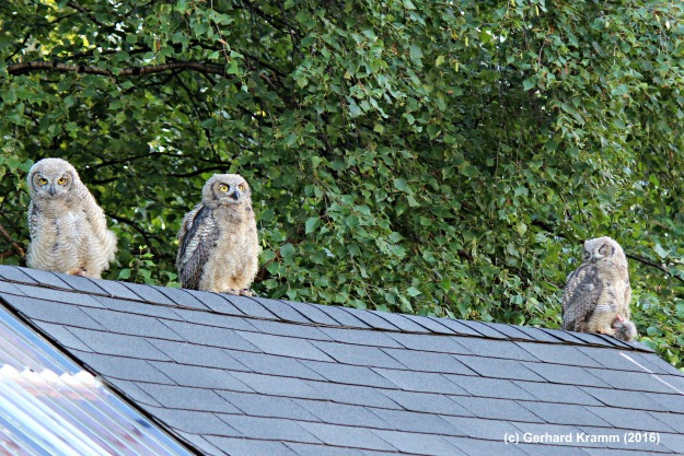 #Alaska #wildlife young owls on the roof of an utility hut. Copyright G. Kramm