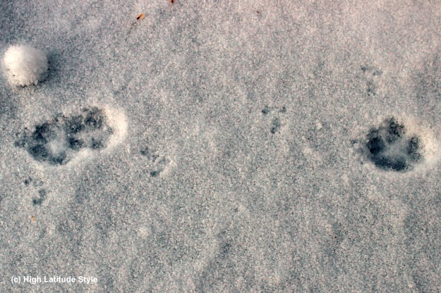 dog and vole imprints in fresh snow