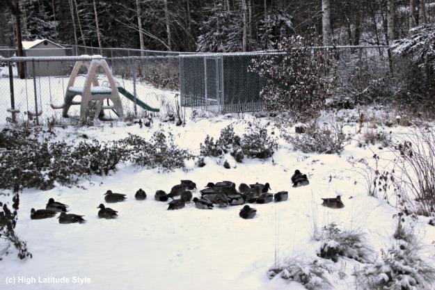 #Alaskawildlife ducks overwintering in Alaska
