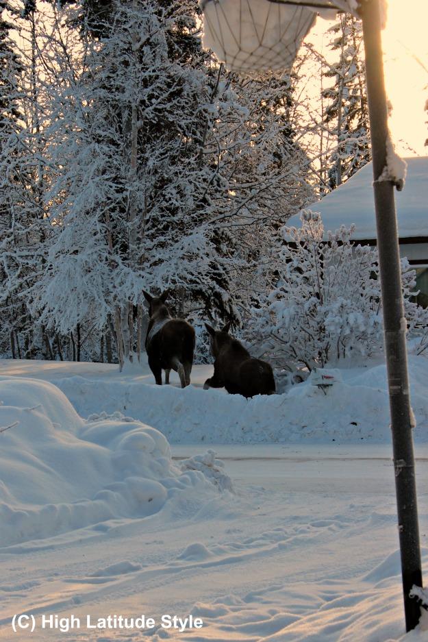 Alaska lifestyle moose calf and cow