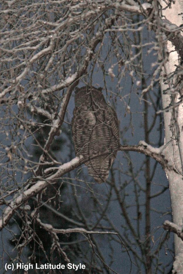 Alaska wildlife owl on the watch in a tree