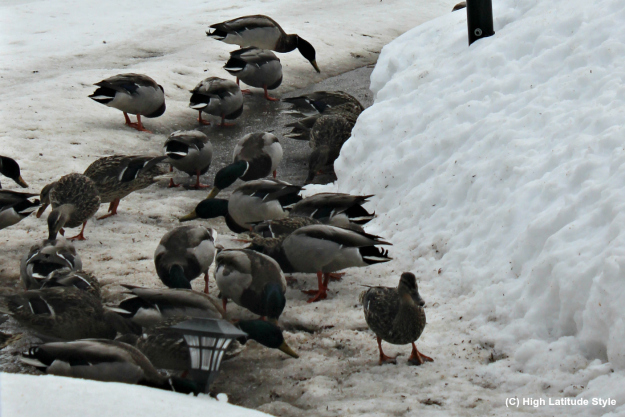 Alaska ducks searching for food