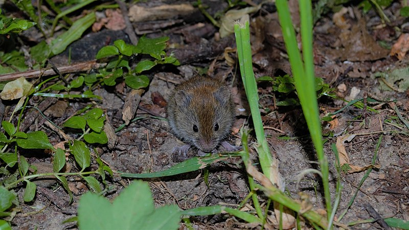 cute vole munching on iris leaves