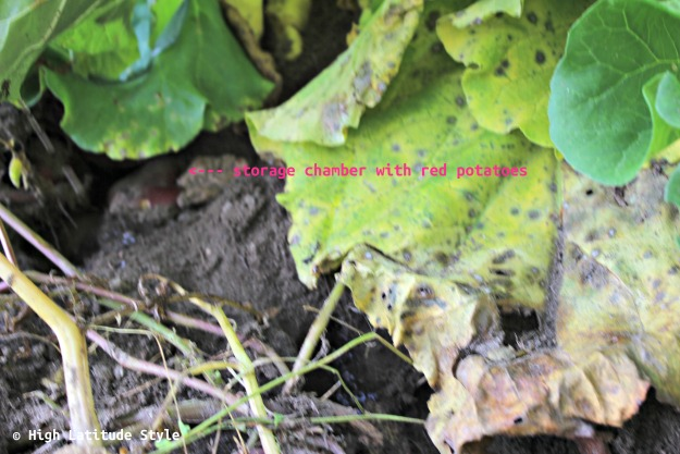 #wildlife vole food storage chamber under rhubarb leave