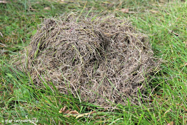 dried grass taken off a vole sleeping chamber