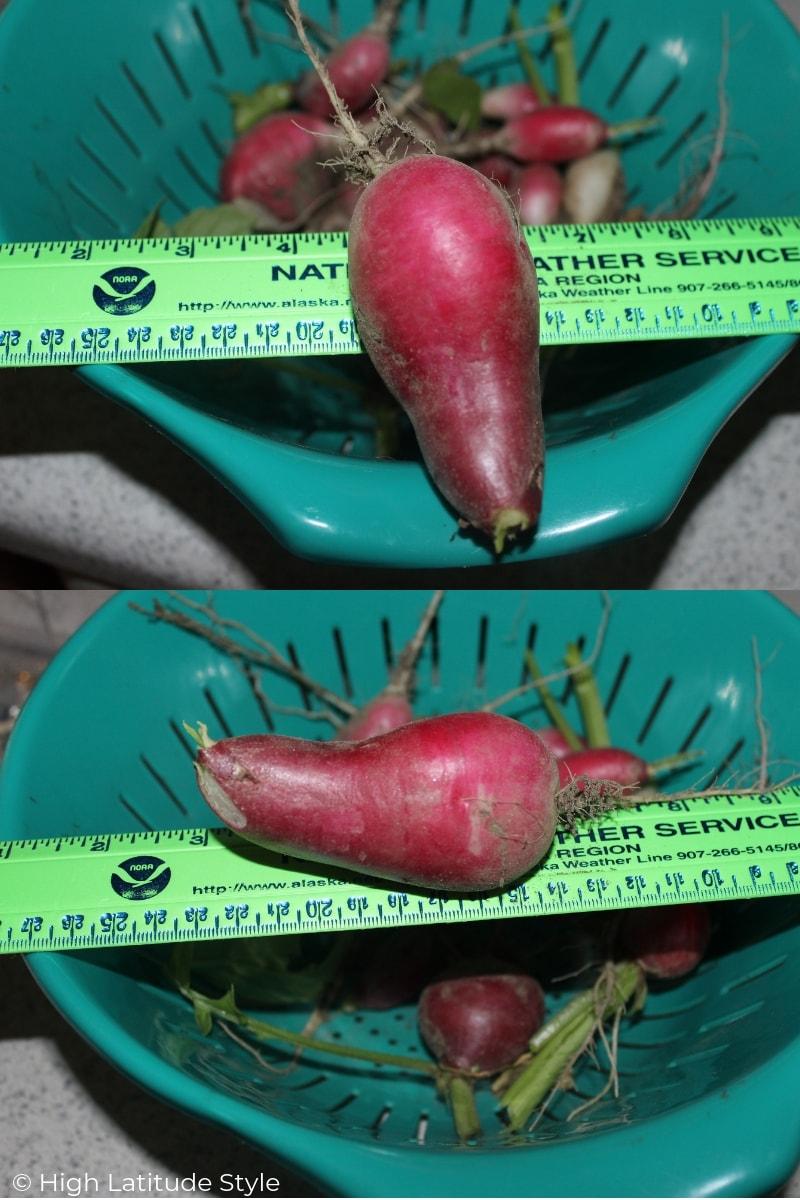 giant radish grown in my yard in Alaska