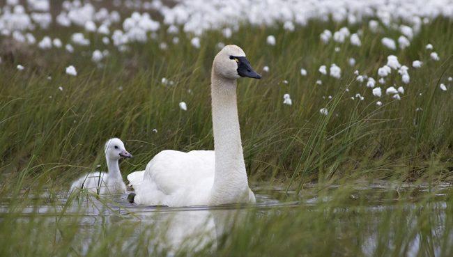 swan on the tundra
