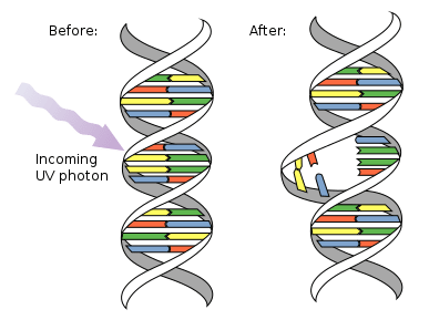 Schematic view of DNA damage by UV light