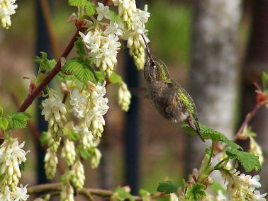 Flowering-Currant-02