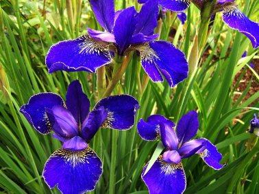 Iris-03
