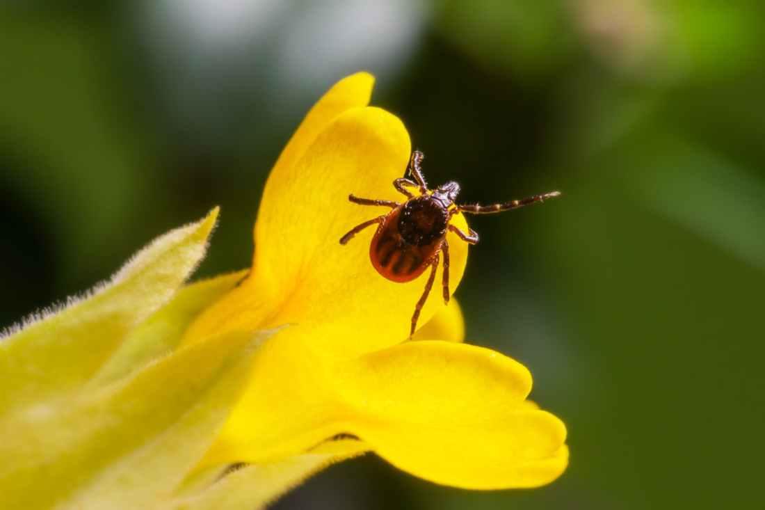 Tick on yellow flower