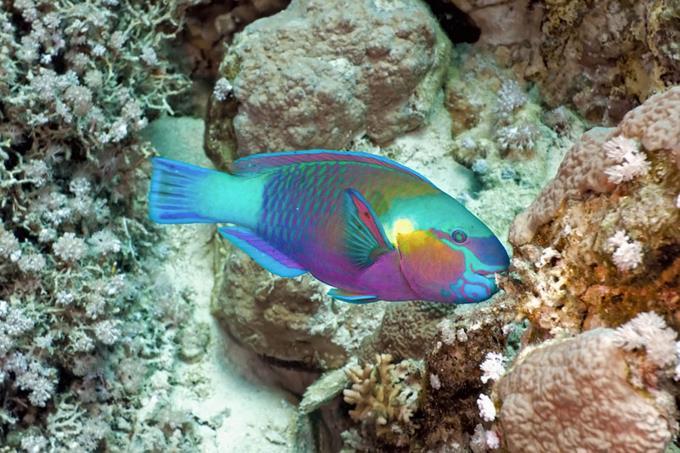 Pez loro: Con rol de preservar la salud marina