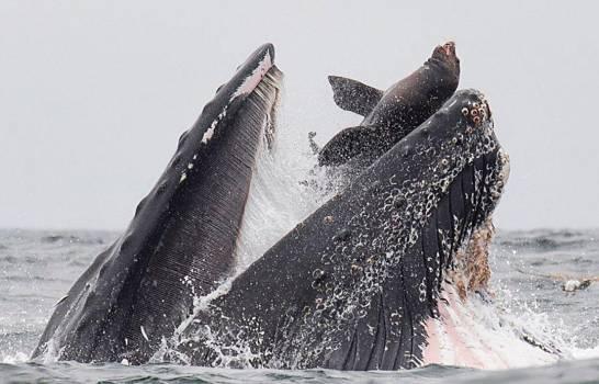 Fotógrafo capta momento exacto en que una ballena jorobada casi se traga un león marino