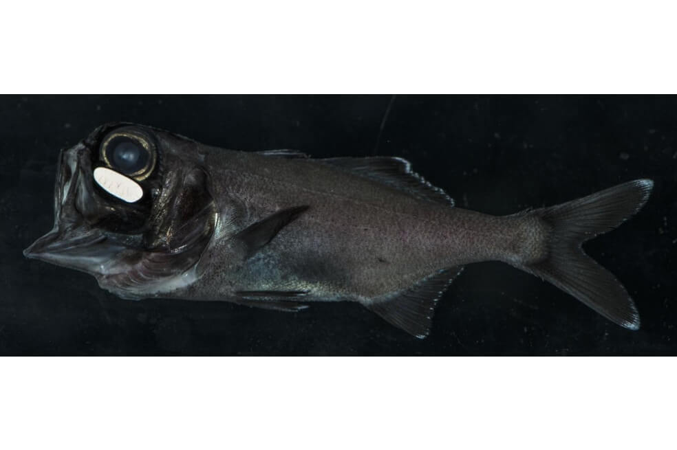 El pez ojo de linterna se agrupa de noche con los suyos gracias a la luz