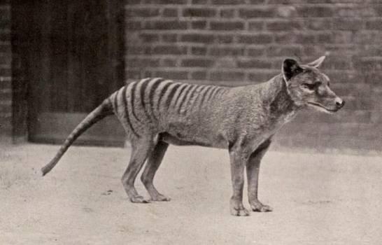 Un animal que se creía extinto desde hace 80 años fue visto en Tasmania