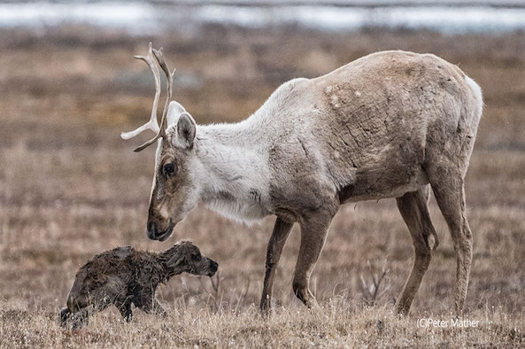 Opinion: Save the Arctic National Wildlife Refuge