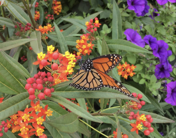 The monarch butterfly is endangered — but you can help