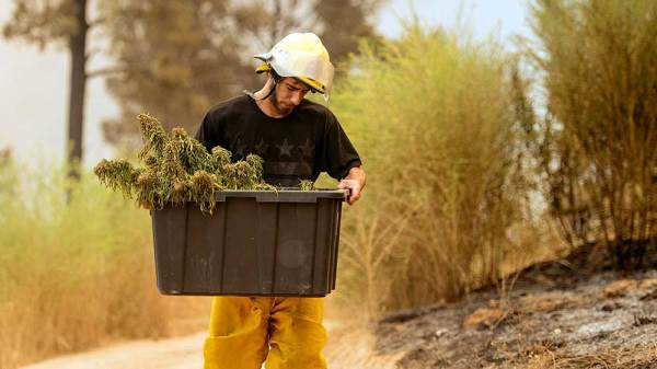 California Pot Farms Hit By Wildfires Receive Neighborly Aid