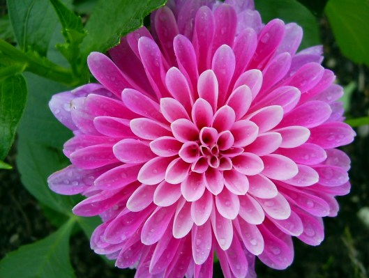 atpm-12-02-desktop-pictures-from-atpm-readers-flower-purple