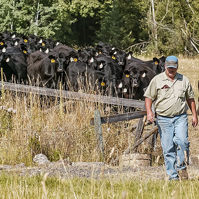 Breeding 150 Cows in one day