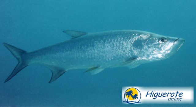 Listado de peces para la pesca deportiva en Higuerote, Barlovento