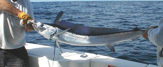 Spearfish_Longbill_higueroteonline
