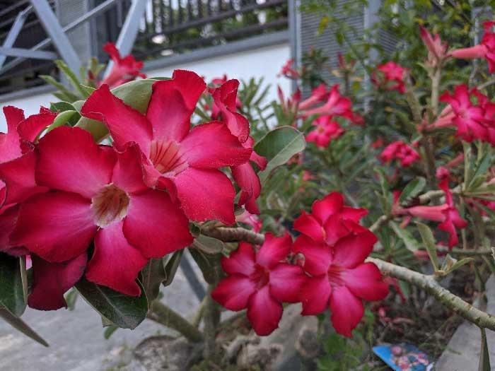 Bunga adenium merah