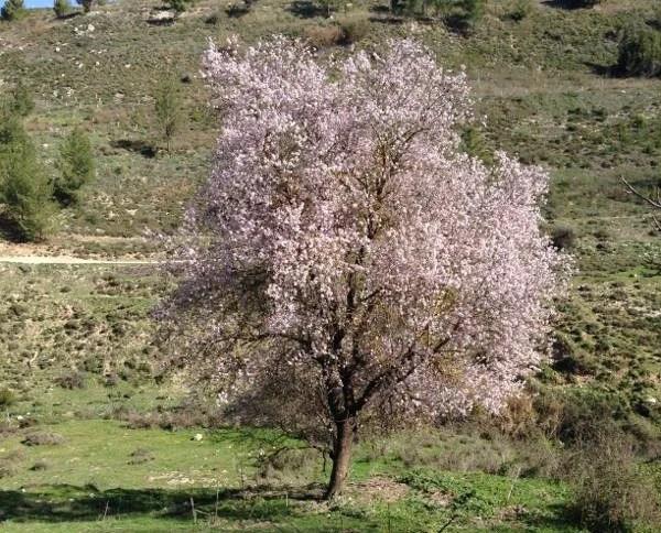 Almond Tree in full blossom on the slopes of gush halav stream