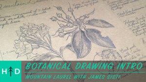 botanical drawing mountain laurel