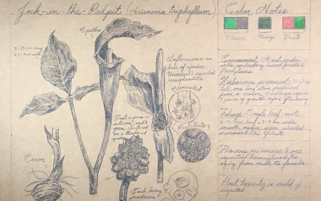 botanical drawing of jack in the pulpit