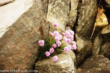 Blumen auf Klippen