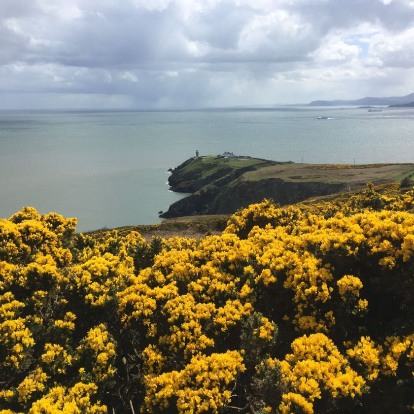 Baily Lighthouse & Gorse flowers