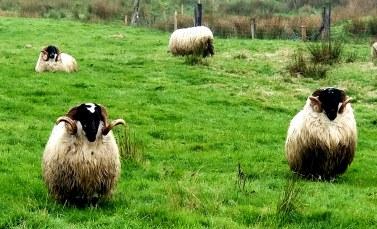 dirty sheep20180905_194139