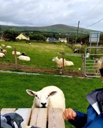 sheep at table
