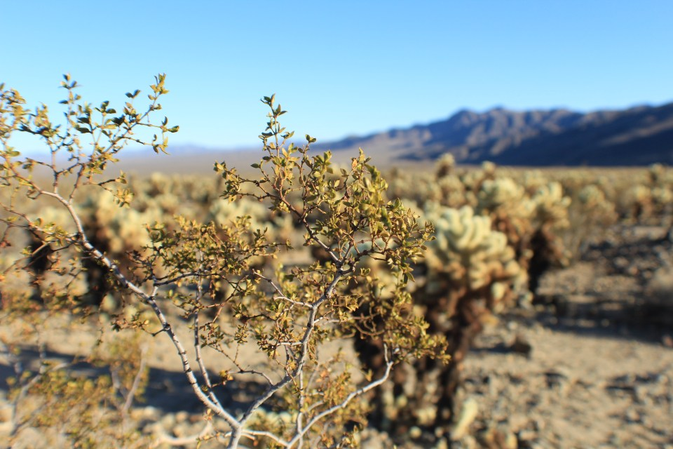 Creosote Bush Joshua Tree