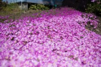 Carpet Flowers - Carpet Vidalondon
