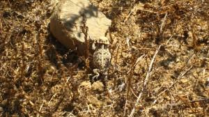 A Baby Horned Lizard, Caspers Wilderness Park