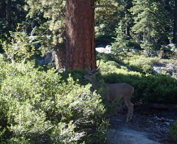 Deer on the trail to Taft Point