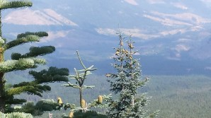 I was curious about the species of pine cones atop the little peak