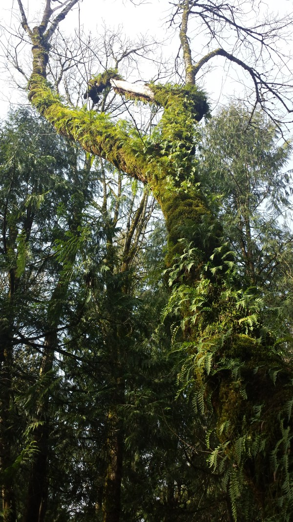 I love the light looking up this moss and fern flocked tree trunk