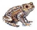 Common Toad watercolour sketch