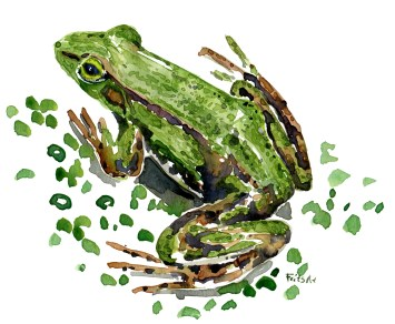 edible-frog-2-watercolor-illustration-by-frits-ahlefeldt