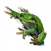 European tree frog watercolour