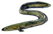 Watercolor of European Eel