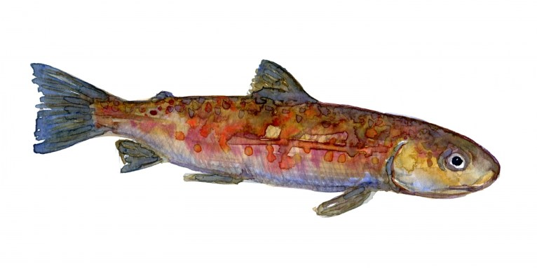 Trout Watercolor study