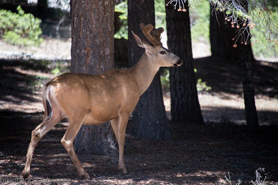 A mule deer strolls through Sequoia National Park