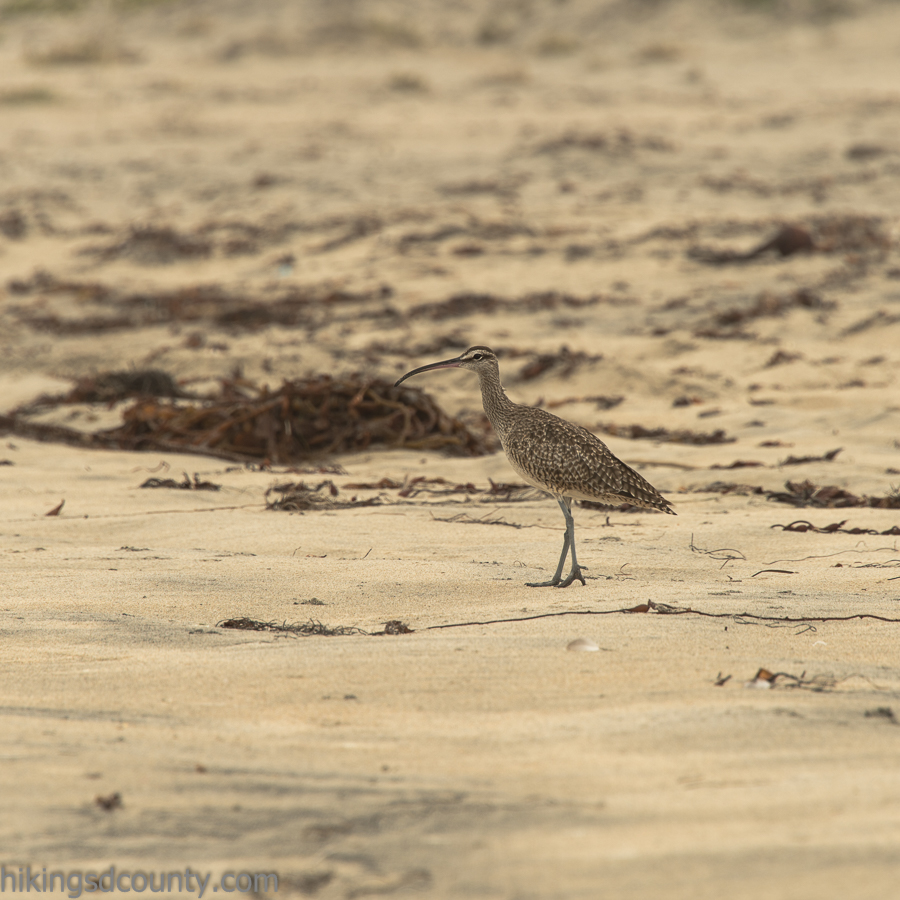 A curlew on the beach at Border Field State Park